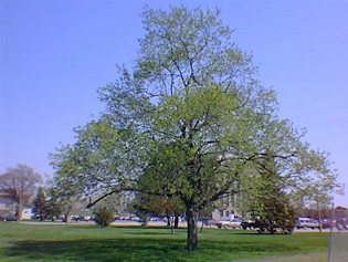 Oley Nelson Memorial Tree